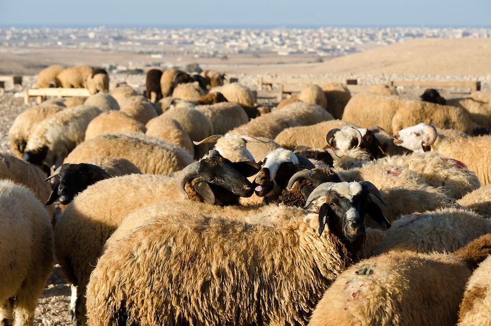 Bedouin sheep in the desert outside of Marsa Matruh (in background), Egypt.