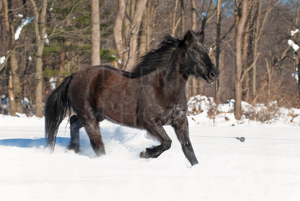 Picture of Mustang horse in heavy winter coat walking in snow.
