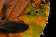 Alpine Newt (Triturus alpestris) male, Kiel, Germany | Der Bergmolch (Triturus alpestris) hat im Frühsommer sein Laichgewässer verlassen. Tagsüber hält er sich nun an feuchten, kühlen Stellen - gerne in Moos und Laub - versteckt.