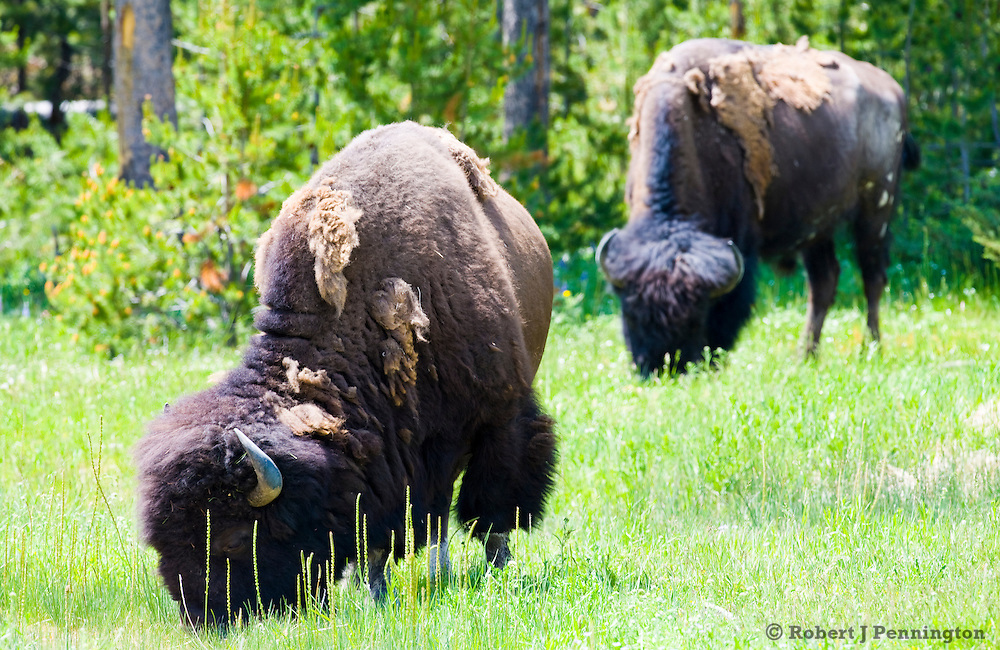 Two buffalo grazing on summer grass in Yellowstone National Park, Wyoming