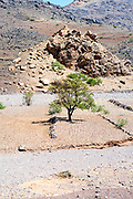 Argan tree growing amid arid Anti Atlas Mountain terrain near Aoulouz, Taliouine & Taroudant Province, Souss Massa Draa region of Southern Morocco, 2016-05-21. <br />