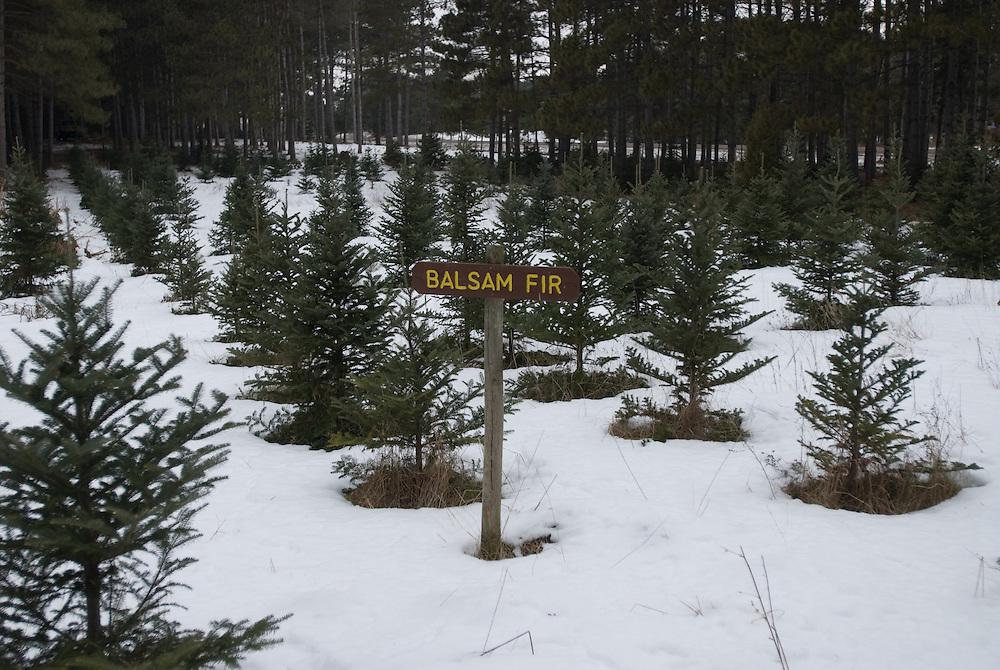 Trees in snow, Minnesota