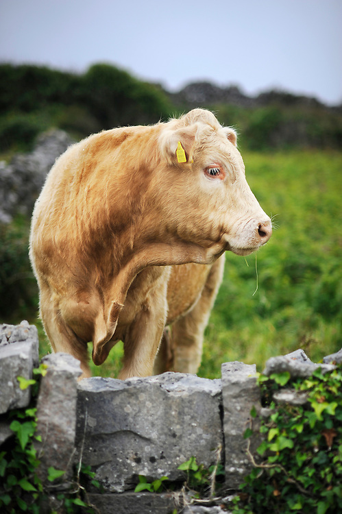 A cow on Inishmore, the largest of the Aran Islands, Co. Galway, Ireland.Photo/Jason Hornick