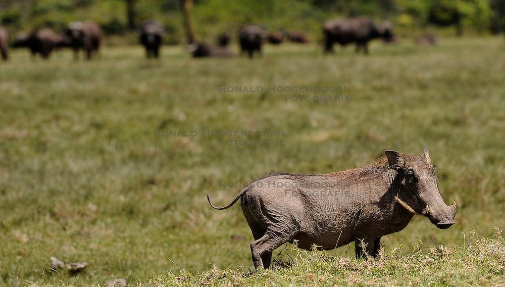15-10-2008 REPORTAGE: KILIMANJARO CHALLENGE 2008: TANZANIA <br /> De dag van Miriakamba Huts (2514m) naar Momella Gate (1514). Wild, dieren, Natuur, vogels, Knobbelzwijn. De Kilimanjaro Challenge van de BvdGf.<br /> &copy;2008-FotoHoogendoorn.nl
