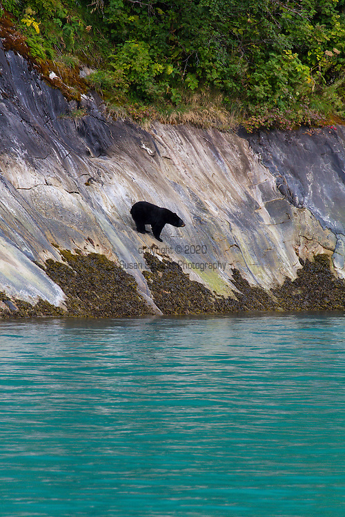 A black bear by the water's edge in Tracy Arm Fjord, in the Tracy Arm-Fords Teror Wilderness.  Established in 1980, this wilderness is 653,179 acres in size and includes Tracy and Edicott Arm Fjords in the center.