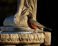 Red-breasted Robin checking out the newly restored bird bath. Autumn Backyard Nature in New Jersey. Image taken with a Fuji X-T2 camera and 100-400 mm OIS telephoto zoom lens (ISO 200, 400 mm, f/5.6, 1/750 sec).