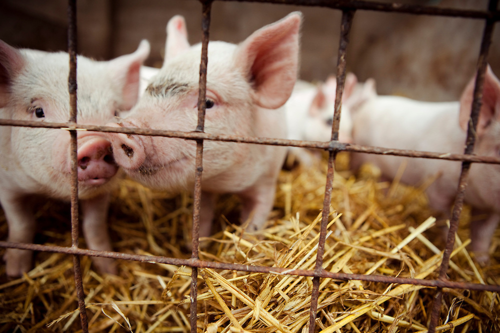 Pigs and livestock, the Crossroads Farm Shop, Leceistershire