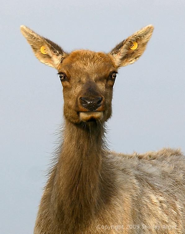 Thule Deer doe