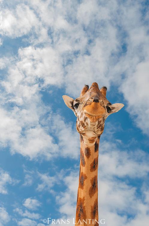 Giraffe, Giraffa camelopardalis, Giraffe Manor, Nairobi, Kenya