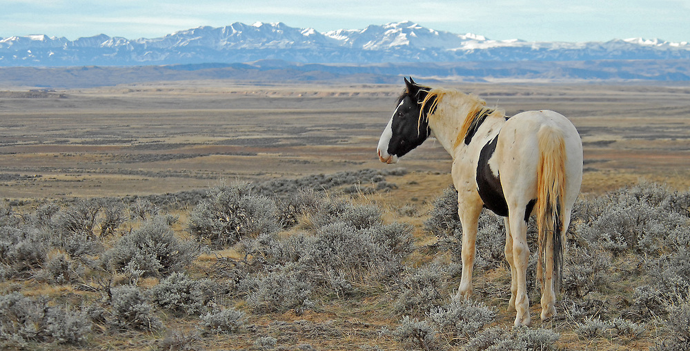 A young Tecumseh surveys the desolate landscape of the McCullough Peaks Herd Management Area near Cody, Wyoming.