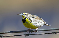 Western Meadowlark (Sturnella neglecta) on fence wire, Langdon reservoir, Alberta, Canada   Photo: Peter Llewellyn