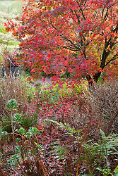 Acer palmatum 'Osakazuki'  in autumn colour at Glebe Cottage