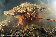 A Giant Hermit Crab, Petrochirus diogenes, digs in the substrate of the Lake Worth Lagoon in Singer Island, Florida.