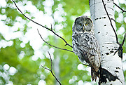 A Great Grey Owl rests in an Aspen grove in Jackson Hole, Wyoming.