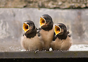 Baby House Martins waiting for parents to bring food. Thornhill, Scotland June 2008