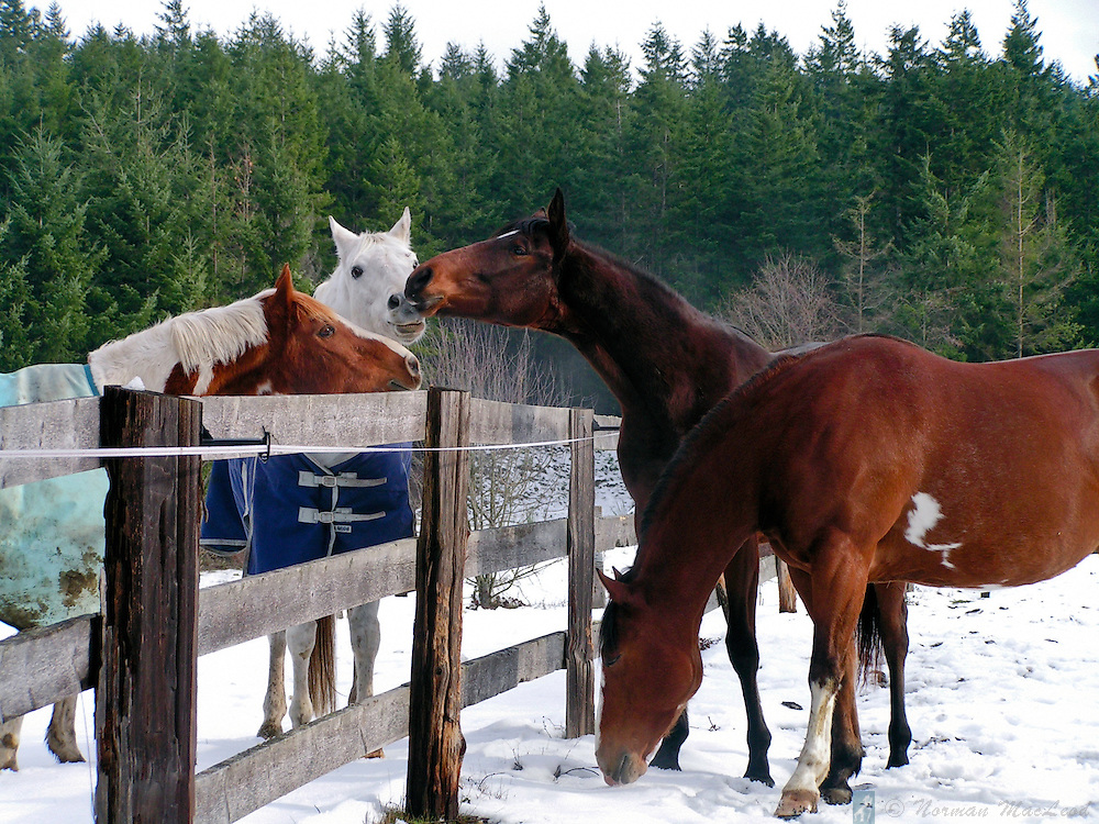 Horses greeting one another over the fence after a light snowfall