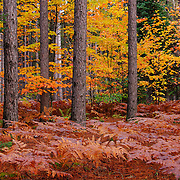 """The Pine Woods""<br />