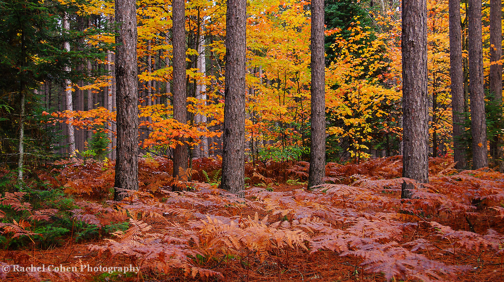 &quot;The Pine Woods&quot;<br />