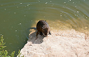 coypu (Myocastor coypus) by the water. This rodent is native to South America. It has been introduced to Europe, North America and Asia, where it has become well established. In most regions it is now considered a pest. Photographed in Israel, Nahal Alexander (Alexander River) National Park