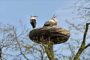 Nederland, Ubbergen, 13-4-2015Lente in de Ooijpolder.Twee ooievaars in hun nest bij logement Oortjeshekken in de Ooijpolder. Het nest is bevestigd in een boom, wat niet vaak gebeurd. Meestal staan ze op vrijstaande palen.FOTO: FLIP FRANSSEN/ HOLLANDSE HOOGTE