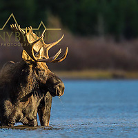 large bull moose in lake