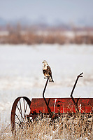 A Rough Legged Hawk perches on an old piece of farm equipment spends its winters in a local farming community.