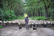 Nederland, Nijmegen, 24-6-2011In de bossen tussen Nijmegen en Malden loopt een schaapskudde. De schapen begrazen de open plekken, halen het gras weg, om de hei de ruimte te geven, en het gebied op een natuurlijke manier te onderhouden. Een schaaphonden houdt de dieren bij elkaar. Foto: Flip Franssen/Hollandse Hoogte