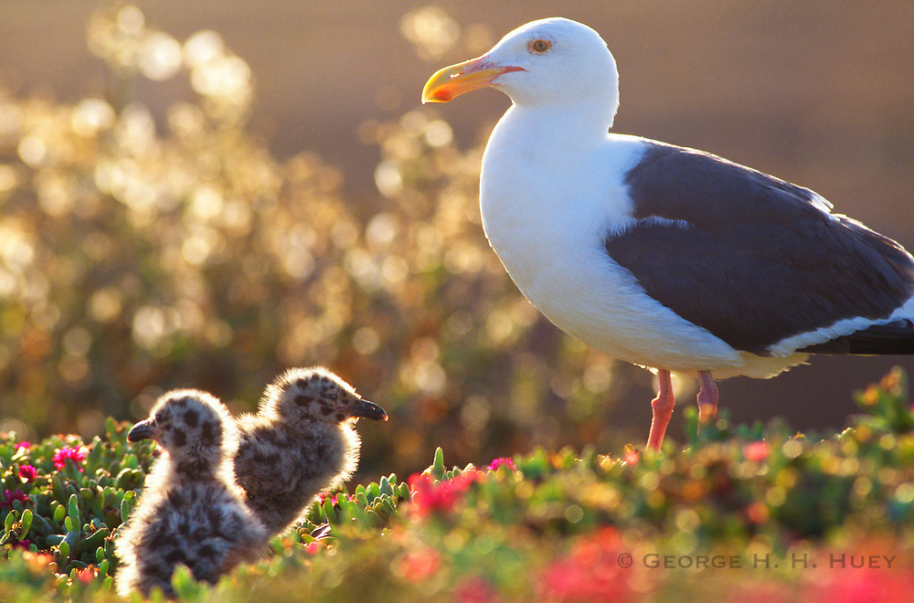 350602-1021D ~ Copyright:  George H. H. Huey ~ Western gull with newborn chicks.  Anacapa Island.  Channel Islands National Park, California.