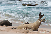 female Hawaiian monk seal, Monachus schauinslandi, Critically Endangered endemic species, stretches and lifts flippers while resting on beach at west end of Molokai Island, Hawaii, as if to show off flipper tags
