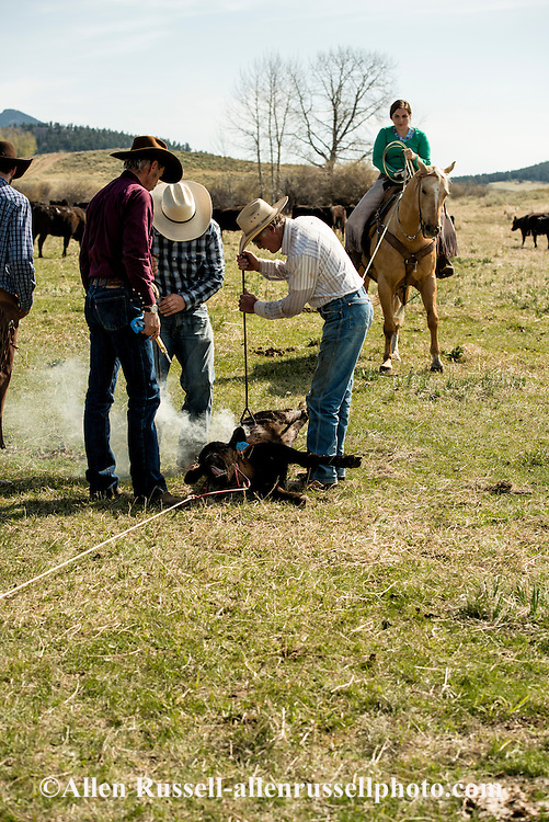 Cowboys, drag calves to the fire, branding, Lazy SR Ranch, Wilsall, Montana, Jessie Sarrazin, Lee Pinkerton