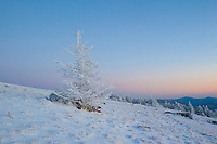 A frost covered tree stands it's ground in the winter wonderland at Roan Mountain.
