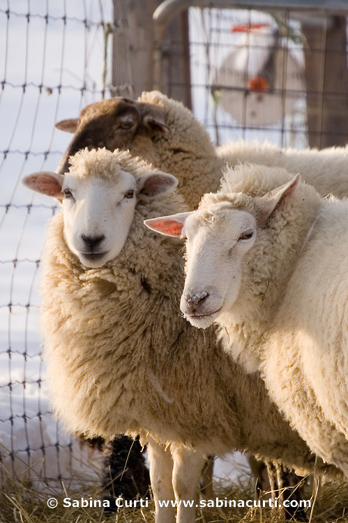 Family farm, sheep, winter, on small sustainable family farm in Hillsdale, Columbia County, NY, New York