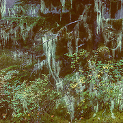 I particularly used to enjoy photographing the lush vegetation at Port Houghton during the extended twilight in the summer. Using a tripod I took very long exposures of more than a minute, and the results were very atmospheric. As the light slowly faded the lighter features of the scene like the pastel green shade of the leaves of the rusty menziesia, and the usnea or old man's beard dripping from the trees, appeared to become luminous and suspended in the encroaching darkness, giving a ghostly life to the stunted trees.