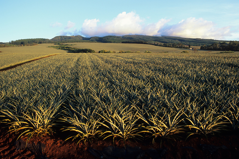 Hawaii, Maui, The Valley Island, upcountry pine fields