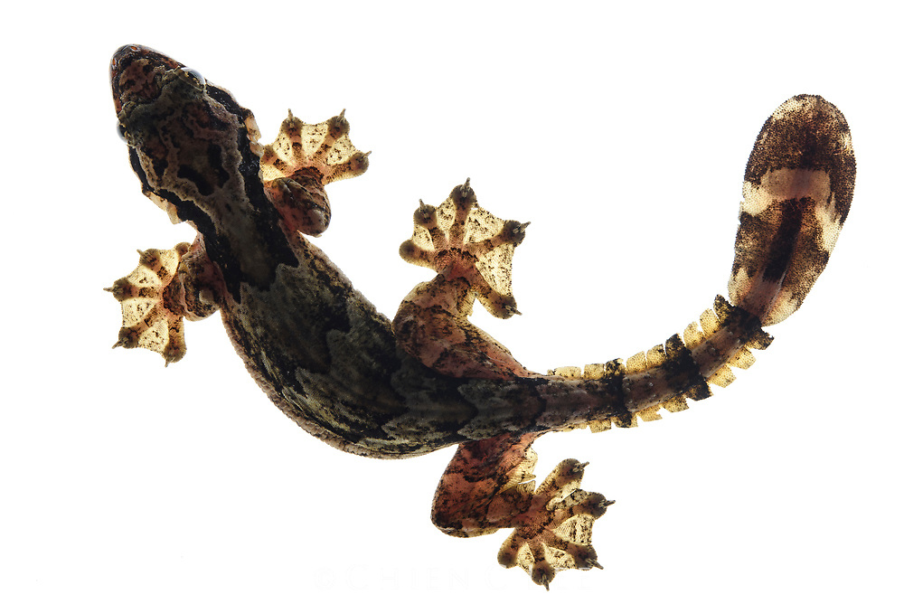 Kuhl's Gliding Gecko (Ptychozoon kuhli). Equipped with webbed feet and parasail-like flaps of skin all along its body, this tree-dwelling gecko is able to 'parachute' when leaping through the air to escape predators. This not only softens its landing but also enables it to glide a considerable distance.