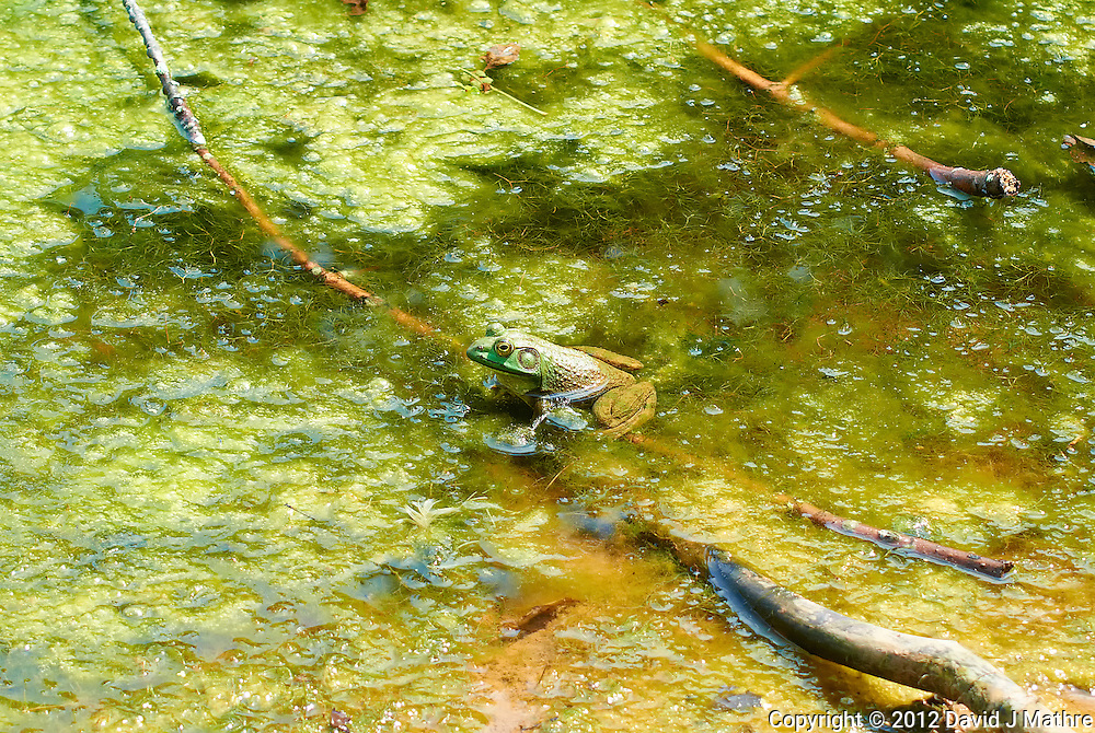 Bullfrog in a Pond at the Sourland Mountain Preserve. Summer Nature in New Jersey. Image taken with a Nikon 1 V1 + FT1 + 70-300 mm VR lens (ISO 200, 70 mm, f/5.6, 1/320 sec) and monopod. [FOV Equivalent to ~ 190 mm on a 35 mm image sensor]