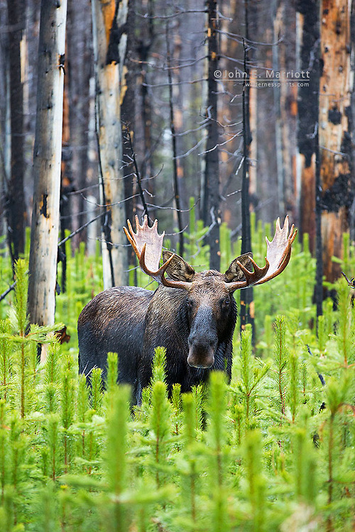 Bull moose in the Canadian Rockies