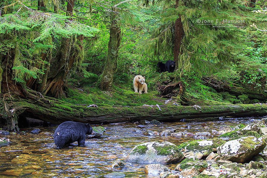 Spirit bear and cubs confront a black bear in the Great Bear Rainforest, British Columbia, Canada