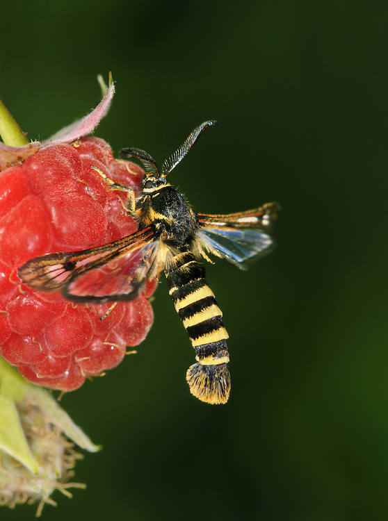 Raspberry Clearwing - Pennisetia hylaeiformis