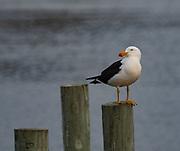 Gull on the far northern coast