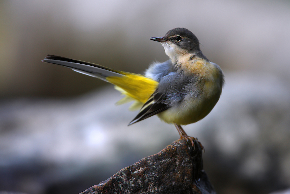 Grey Wagtail (Motacilla cinerea), the Carpathians; Carpathian Mountains; Bieszczady Mountains; Poland