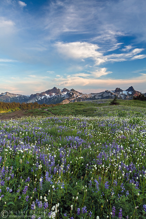 View of wildflowers (Lupines, Sitka Valerian, and American Bistort) and the Tatoosh Range from the Golden Gate Trail above Paradise in Mount Rainier National Park, Washington State, USA