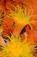 Alberto Carrera, Encrusting Sea Anemone, Lembeh, North Sulawesi, Indonesia, Asia