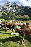 The Austrian fall cattle drives are called almabtrieb. In Nesselwängle. cows wait to be transported home in the Tannheimer Valley. Nesselwängle is a popular spot for skiers, hikers and hang-gliders as well as dairy cows.