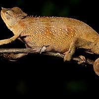 Bale Mountains Two-horned Chameleon, Chamaeleo balebicornatus