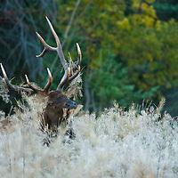 elk in habitat