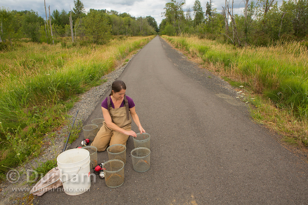 Aquatic ecologist Lauren Kuehne sampling Olympic mudminnow populations in wetlands adjacent to the Chehalis River in Washington State.