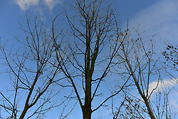 © Licensed to London News Pictures. 07/11/2012. LAWSHALL, UK Infected trees at an infected site in East Anglia today, 7th November 2012. UK ash trees are threatened by the spread of Chalara disease, more commonly known as Ash Dieback. The Green Light Trust, an environmental charity near Bury St Edmunds has found its stock of Ash trees decimated with the disease. The community managed woodland has set up an appeal to help find a long term solution to the disease.  Photo credit : Stephen Simpson/LNP