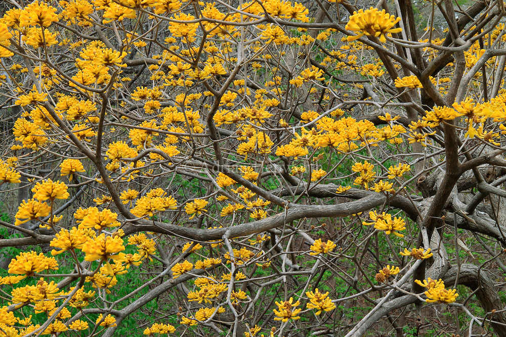 Yellow Cortez (Tabebuia ochracea) branches in flower. Tropical dry forest, Papagayo Peninsula, Guanacaste, Costa Rica. <br /> <br /> For pricing click on ADD TO CART (above). We accept payments via PayPal.