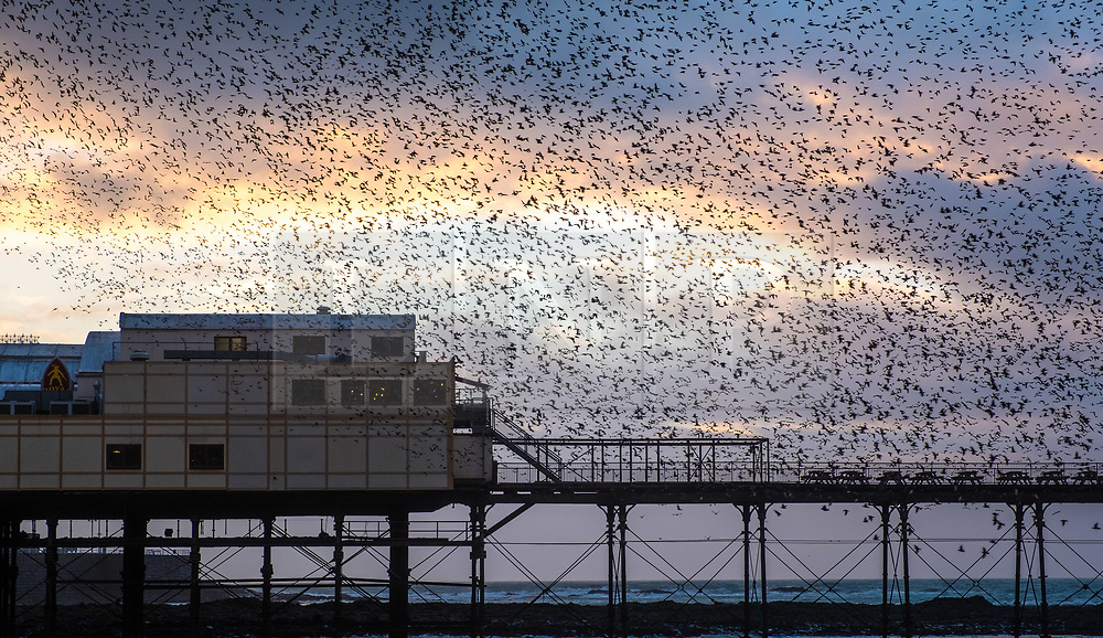 © Licensed to London News Pictures<br /> Aberystwyth, UK. 26/01/2019. As the sun sets over Cardigan Bay, tens  of thousands of  starlings (known as  'adar yr eira' - 'snow birds' in Welsh)  perform their spectacular 'murmurations' in the sky as they return to roost for the night on the forest  of cast iron legs underneath  Aberystwyth's Victorian seaside pier. <br /> There is a Met Office 'yellow warning' for gale force winds issued, covering all of Wales and the west of the UK overnight, with gusts expected to reach 65mph in exposed places. Photo credit: Keith Morris/LNP